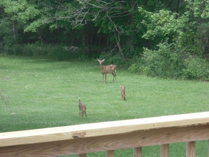 Mama and baby deer in the backyard