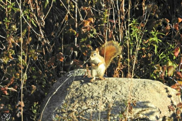 Squirrel Stocking Up For Winter