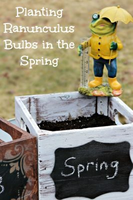 Planting Ranunculus Bulbs in the Spring
