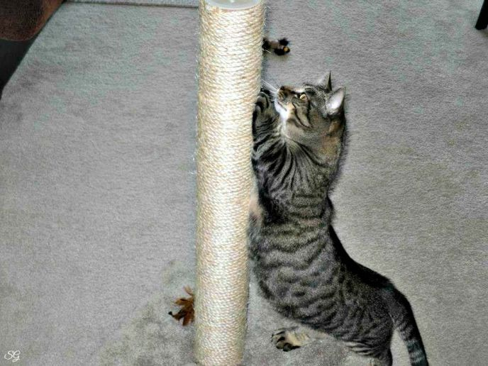 Turbo the Munchkin and Scratching Post